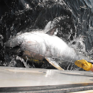 Eagle Eye Tuna Charters fishes world class Bluefin Tuna!